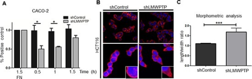 LMWPTP influences cell adhesion and cell morphology(A) CRC cell adhesion was determined by MTT assay of adherent cells after indicated time points, with fibronectin (FN) coating serving as control. CACO-2 LMWPTP knockdown cells adhere less than control cells (*P < 0.05; **P < 0.01). (B, C) Confocal microscopy of Phalloidin-rhodamine stained cells was employed to examine cell morphology. Immunofluorescence reveals a more elongated morphology in HCT116 LMWPTP knockdown cells as compared to control (B). To quantify the changes in morphology, the ratio between the length and width of the cells was calculated, with a higher ratio indicating a more elongated shape. Non-target control cells have a significantly lower ratio compared to LMWPTP knockdown cells. (1.1 ± 0.02 vs 1.7 ± 0.18, n = 26; P < 0.0001) (C).