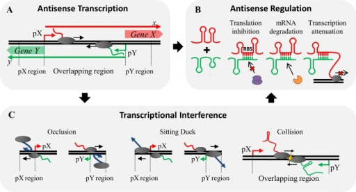 Antisense transcription mechanisms in a set of convergent genes.(A) General set of convergent promoters driving expression of genes X and Y synthesizing transcripts x and y (bold arrows), respectively. Such a system is susceptible to TI and produces overlapping transcripts that may participate in AR. (B) AR can cause translational inhibition, mRNA degradation and transcriptional attenuation due to the interactions that may exist between full-length sense and antisense transcripts as well as truncated RNA produced as a result of RNAP collisions, one of the reported TI mechanisms. (C) Mechanisms of TI: Occlusion caused by passage of an opposing elongating RNAP on the antisense promoter which hinders binding of RNAP to the sense promoter; Sitting duck interference, dislodgement of an initiation complex due to collision with an opposing elongating RNAP; and Collision between opposing elongating RNAP molecules that produces truncated RNA of different sizes susceptible to participate in AR. Both TI and AR mechanisms are likely to be coupled during antisense transcription.