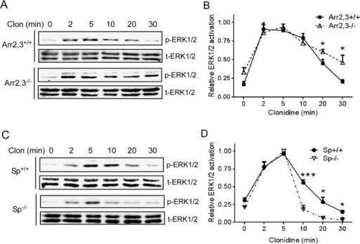 Spinophilin and arrestin reciprocally regulate α2BAR-induced ERK1/2 activation kinetics in MEFs.(A) Arr2,3-/- and corresponding WT (Arr2,3+/+) MEFs expressing HA-α2BAR were stimulated with 1μM clonidine for indicated time points. Phospho- and total-ERK1/2 were detected by Western blots. Representative blots from multiple independent experiments are shown. (B) Quantitation of ERK1/2 activation in Arr2,3+/+ or Arr2,3-/- MEFs at indicated time points. The relative ERK1/2 activation at each time point was expressed as a ratio to the peak level of ERK1/2 activation in the same experiment, which was arbitrarily defined as 1.0. Data were mean ± SEM. n = 4 for each condition. *, p<0.05, Arr2,3-/-vs. Arr2,3+/+. (C) Sp-/- and corresponding WT (Sp+/+) MEFs expressing HA-α2BAR were stimulated. Representative blots for phospho- and total ERK1/2 from multiple independent experiments are shown. (D) Quantitation of ERK1/2 activation in Sp+/+ or Sp-/- MEFs at indicated time points. Data were mean ± SEM. n = 7 for data collected in Sp+/+ cells and n = 4 for Sp-/- cells. *, p<0.05; ***, p<0.001, Sp-/-vs. Sp+/+.