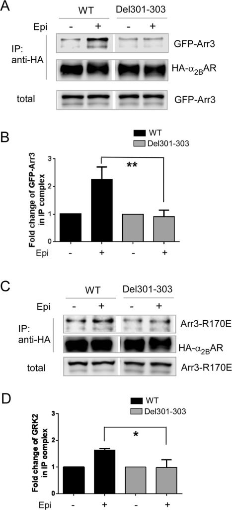 The Del301-303 α2BAR shows impaired interaction with arrestin 3.(A) Agonist treatment failed to promote interaction of the Del301-303 α2BAR with arrestin 3. Cells co-expressing GFP-tagged arrestin3 (GFP-Arr3) with HA-tagged WT α2BAR or Del301-303 α2BAR were stimulated with 100μM epinephrine (plus 1μM propranolol to block βARs), and the interaction between arrestin and either WT or Del301-303 α2BAR was examined by co-IP assays. (B) Quantitation of the agonist-induced fold change of GFP-Arr3 in the IP complex with the WT or Del301-303 α2BAR. n = 3–4 for each condition. **, p<0.01, WT vs. Del301-303. (C) Del 301–303 α2BAR was unable to interact with constitutively active mutant arrestin3 R170E following agonist stimulation. Cells co-expressing GFP-Arr3R170E together with WT or Del301-303 α2BAR were stimulated with 100μM epinephrine (plus 1μM propranolol). (D) Quantitation of the agonist-induced fold change of GFP-Arr3R170E in the IP complex with the WT or Del301-303 α2BAR. n = 3–4 for each condition. *, p<0.05, WT vs. Del301-303.