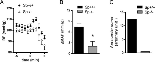 The α2BAR dependent hypertensive response is diminished in spinophilin deficient mice.(A) Mean arterial pressure (MAP) measured in Sp+/+ and Sp-/- mice in the same genetic background after UK14,304 injection (0.1mg/kg i.v.). (B) Quantitation of agonist-induced changes in MAP(ΔMAP) over the basal level. (C) Quantitation of area under curve of the hypertensive response curve. n = 5 for each group. *, p <0.05, Sp+/+vs. Sp-/-.