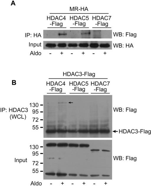 HDAC4 interacts with both the MR and HDAC3.A, HEK293 cells were transfected with MR-HA and either HDAC4-Flag, HDAC5-Flag, or HDAC7-Flag plasmids. After 48 h, the cells were treated with Aldo (10 nM) for 30 min. Whole-cell lysates (WCLs) were prepared with non-denaturing lysis buffer. The MR was precipitated with an anti-HA antibody and MR-interacting HDACs were detected by western blotting with an anti-Flag antibody. HDAC4 and HDAC5 interacted with MR after Aldo treatment. B, HEK293 cells were transfected with HDAC3-Flag and HDAC4-Flag, HDAC5-Flag, or HDAC7-Flag plasmids. HDAC3 was immunoprecipitated with an antibody and HDAC3-interacting class II HDACs were detected by western blotting. HDAC4 interacted with HDAC3 after Aldo treatment. Aldo, aldosterone; HA, hemagglutinin; IP, immunoprecipitation; WB, western blotting.