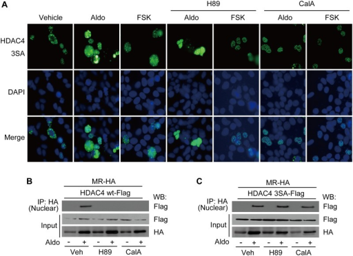 Location of mutant HDAC4 is not affected by H89 or calyculin A.A, HEK293 cells were transfected with GFP-tagged-mutant HDAC4 plasmid. After 48 h of transfection, cells were stimulated with Aldo or FSK for 30 min with or without pretreatment with H89 or calyculin A for 6 h, and analyzed by fluorescence microscopy. HEK293 cells were co-transfected with HA-tagged MR and Flag-tagged wild-type HDAC4 (B) or mutant HDAC4 (C). The cells were stimulated with Aldo for 30 min with or without pretreatment with H89 or calyculin A, and then fractionated. The interaction between MR and HDAC4 in each fraction was analyzed by a co-immunoprecipitation assay.