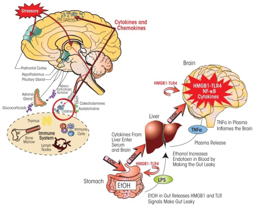 "Neuroimmune signaling integrates central nervous system (CNS) responses to alcohol and stress. (Left) Stressors activate the body's stress response system, which is comprised of the hypothalamus, pituitary gland, and adrenal glands (i.e., HPA axis) as well as the stress hormones they produce (e.g., adrenocorticotropic hormone and glucocorticoids). Stress also activates the sympathetic nervous system, which secretes catecholamines. These hormones act on various organs and tissues that are part of the immune system. In response, immune cells secrete cytokines that via the blood are transported to the brain. There, these cytokines lead to brain neuroimmune-gene induction that sensitizes stress-response pathways. At the same time, the immune system communicates with the CNS through sensory (afferent) nerves that activate the brain in response to stressful stimuli. This communication pathway involves particularly the vagus nerve and the nucleus tractus solitarius in the brain stem. (Right) Alcohol influences neuroimmune signaling via its effects on the gastrointestinal tract. Consumed ethanol enters the stomach and gut and makes them ""leaky"" by inducing the release of high-mobility group box 1 (HMGB1), which in turn activates Toll-like receptor 4 (TLR4) in the gut. As a result, bacterial products such as lipopolysaccharide (LPS) can enter the blood and reach the liver. Both LPS and ethanol (which also reaches the liver via the circulation) contribute to inflammatory reactions in the liver, which lead to release of tumor necrosis factor-alpha (TNF-α) and other proinflammatory cytokines from the liver. These proinflammatory cytokines in the blood enter the brain and increase neuroimmune-gene expression. Chronic ethanol also increases expression of HMGB1–TLR4 signaling in the brain, leading to persistent and progressive increases in neuroimmune-gene expression in the brain."