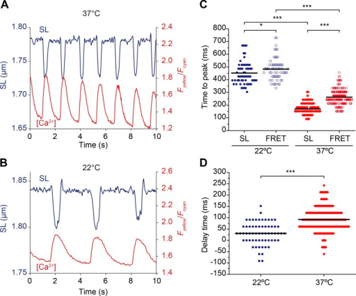 Changes in SL and local [Ca2+] during spontaneous beating at different temperatures. (A) Time course of changes in SL and local Fyellow/Fcyan measured with α-actinin–YC-Nano140 during spontaneous beating at 37°C. Data were averaged from 10 sarcomeres. (B) Same as in A at 22°C. Data were averaged from 13 sarcomeres. (C) Graph summarizing time to peak values of changes in SL and Fyellow/Fcyan at 22°C and 37°C. *, P < 0.05; and ***, P < 0.001 (Tukey-Kramer test). (D) Graph comparing delay time (difference in time between SL and Fyellow/Fcyan) at 22°C and 37°C. ***, P < 0.001 (Mann-Whitney U test). Bars in each graph indicate mean values.
