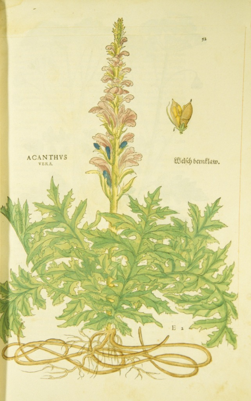 <p>Hand-colored woodcut of the acanthus, showing the flowers, stalk, leaves, and roots.</p>