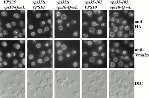 The Vps10-Q1499L mutant protein exhibits a predominantly Golgi localization pattern in vps35-105 cells. The following strains (shown respectively from left to right) were analyzed: SNY135, SNY132, SNY136, SNY133, and SNY137. Strains propagated at 30°C were fixed, spheroplasted, and costained with antibodies against the HA epitope and Vma2p. After subsequent detection with fluorochromes (see Materials and Methods) the cells were viewed by DIC optics and by epifluorescence through filters specific for FITC and Texas red.