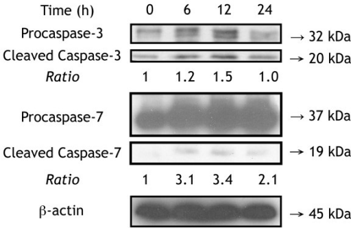 CASP3 and CASP 7 were cleaved into active forms after F3 treatment in THP-1 cells. After THP-1 cells were treated with F3 for 0, 6, 12, 24 hours, we detected proforms and active forms of CASP3 and CASP7 using western blotting. CASP3 and CASP7 were activated after F3 treatment.