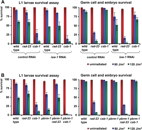 Genetic interactions of isw-1 and pbrm-1 with rad-23 and csb-1.(A) L1 larvae and germ cell and embryo UV survival of wild type, rad-23 and csb-1 animals grown on control or isw-1 RNAi food. (B) L1 larvae and germ cell and embryo UV survival of wild type, rad-23, csb-1, pbrm-1, pbrm-1; rad-23 and pbrm-1; csb-1 animals. Each line represents the mean of at least two independent experiments (typically, n>40). Error bars denote the s.e.m.
