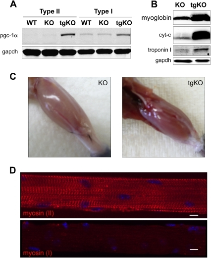 characterization of musclespecific tgko micea weste