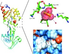 Ribbon representation of the 2.1 Å structure of A. fulgidus CopB ATPBD with bound phosphateThe insert shows the phosphate anion being stabilized by the conserved HAD motif residues Lys565, Thr391, Thr537, Asp389 and two water molecules. The phosphate anion in the upper panel is displayed as orange and red spheres. The conserved residues are displayed as sticks. The surface diagram in the lower panel illustrates the surface charges on the anion binding pocket, with blue and red surfaces indicating positively and negatively charged surfaces. The anion is displayed as orange and red sticks, whereas the water molecules are displayed as red spheres. The Models were generated using Pymol and UCSF Chimera, respectively.