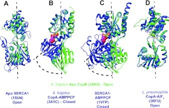 Ribbon representations of superimposed ATPBDs indicating conformational changesA. fulgidus CopB apo-ATPBD (PDB code 3SKX) (in green) is superimposed with (A) Apo SERCA1 (PDB code 1SU4), (B) A. fulgidus CopA–AMPPCP (PDB code 3A1C), (C) SERCA1-AMPPCP (PDB code 1VFP) and (D) L. pneumophila Lp-CopA, AlF4 (3RFU). The structural alignment was performed using the structure comparison tool Matchmaker in the program UCSF Chimera. The ribbon diagram was generated using UCSF Chimera.