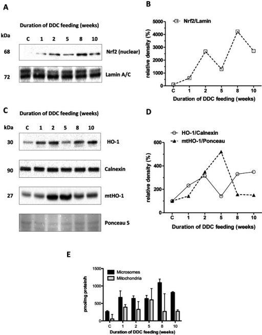 Expression of Nrf2 and heme oxygenase 1 in livers of DDC-treated mice.A: Nrf2 protein expression and (B) densitometry in hepatic nuclear fractions. The intensity of protein bands was quantified, and individual blot densities were normalized to loading control (Lamin A/C) C: Heme oxygenase-1 (HO-1) protein expression and (D) densitometry in total liver homogenate (HO-1) and mitochondrial fractions (mtHO-1). The intensity of protein bands was quantified, and individual blot densities were normalized to loading control (calnexin for total homogenate, Ponceau S for the mitochondrial fraction). (E) Activities of HO-1 in microsomes and mtHO-1 in mitochondria as pmol bilirubin/mg protein/h.