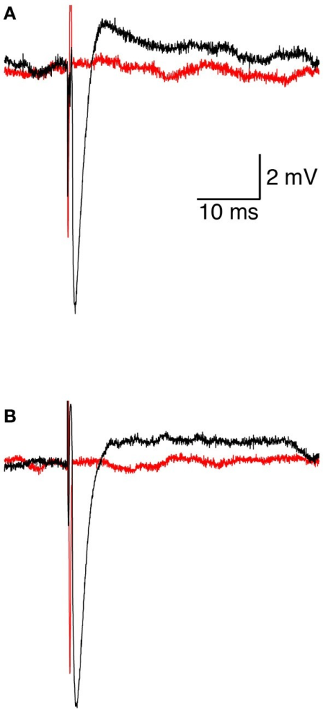 Initiation and pharmacological block of the action potential. (A) representative loose-patch recording of an extracellular action potential from a L5 pyramidal neuron before (black line) and after (red line) application of 100 nM tetrodotoxin. (B) representative loose-patch recording of an extracellular action potential from a L5 pyramidal neuron when the magnetic coil was positioned with its median radius below the neuron (black line) and when the center of the coil was positioned below the neuron (red line).
