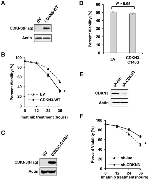 CDKN3 negatively regulates K562 cell survival.(A) Expression of CDKN3 in K562 cells stably overexpressing FLAG-tagged wild type CDKN3 (CDKN3-WT) or empty vector (EV) was detected by Western blotting using indicated antibodies. (B) K562 cells stably overexpressing CDKN3-WT or EV were treated with 10 µM of imatinib for the indicated time. Samples were stained with Annexin V-APC and PI, examined by flow cytometry and analyzed by FCS Express V3. Plotted are results from three independent experiments. Error bars represent SEM, n = 3; *P<0.05. (C) Shown is an immunoblot examining FLAG-tagged CDKN3-C140S in K562 cells ectopically expressing CDKN3 mutant (CDKN3-C140S) or empty vector (EV). (D) Cell viability of K562 cells expressing CDKN3-C140S or EV was assessed by flow cytometry after treatment with 10 µM of imatinib for 36 h. Samples were stained with Annexin V-APC and PI. Plotted are results from three independent experiments. Error bars represent SEM, n = 3. (E) Shown is an immunoblot examining shRNA-based knockdown of CDKN3. (F) K562 cells stably expressing sh-luc or sh-CDKN3 were treated with 10 µM imatinib for the indicated time. Samples were then stained with Annexin V-APC and PI, followed by flow cytometry analysis. Plotted are results from three independent experiments. Error bars represent SEM, n = 3; *P<0.05.