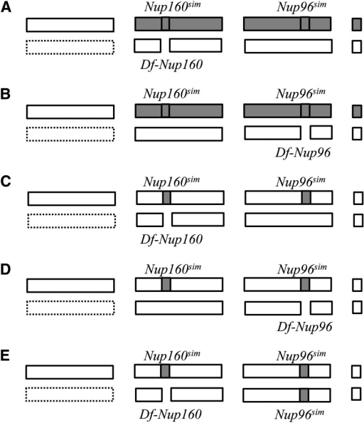 Genotypes examined previously and in this study. Pairs of bars represent chromosomes X, 2, 3, and 4 (left to right). Open bars (dashed if the presence is not obligate) indicate chromosomes/regions from D. melanogaster, and gray bars indicate chromosomes/regions from D. simulans. D. simulans alleles of Nup160 and Nup96 and the deficiencies on D. melanogaster chromosomes are also indicated. (A) Flies of this genotype all die according to Tang and Presgraves (2009) and Sawamura et al. (2010). (B) Flies of this genotype all die according to Presgraves et al. (2003). (C, D) These flies are viable according to the present analysis. (E) Flies of this genotype all die according to the present analysis. The genotypes in (A) and (B) are usually males carrying one X chromosome from D. melanogaster, but females carrying two D. melanogaster X chromosomes can also be obtained using the attached-X system (Presgraves et al., 2003; Tang & Presgraves 2009). The genotypes in (C), (D), and (E) are females carrying two D. melanogaster X chromosomes or males carrying one D. melanogaster X chromosome.