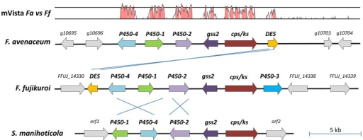 Architecture of the gibberellic acid (GA) gene clusters from F. fujikuroi MP-A, F. avenaceum and Sphaceloma manihoticola.The gene cluster and surrounding genes are identical in the three F. avenaceum strains and only Fa05001 is shown (FaLH03 cluster: FAVG2_04186 - FAVG2_04192 and FaLH27 cluster: FAVG3_04219 - FAVG3_04224). The mVista trace shows the similarity over a 100 bp sliding windows (Shuffle-LAGAN plot) between the F. avenaceum and F. fujikuroi clusters, bottom line  = 50% and second line  = 75% identity. Genes: gss2  =  geranylgeranyldiphosphate synthase, cps/ks  =  copalyldiphosphate/ent-kaurene synthase, P450-4  =  ent-kaurene oxidase, P450-1  =  GA14 synthase, P450-2  =  C20-oxidase, P450-3  =  13-hydroxylase and DES  =  desaturase. Note that the intergenic regions are unknown for the S. manihoticola GA cluster, while the size of these regions is not to drawn to size.