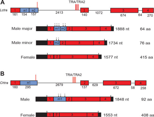 Comparison of the genomic organization and sex-specific transcripts of the L. cuprina and C. hominivorax transformer genes. The diagrams represents the Lctra (A) and Chtra genes (B). The exons are shown as square boxes, with exons in red representing common exons to both female and male mRNAs. Exons m1 and m2 in blue represent male specific exons. Introns are represented by solid lines. Exon and intron sizes are indicated. Red vertical lines represent the position of putative TRA/TRA2 binding sites within the male exon and the first intron. The male and female transcripts are shown below the genes. The 5' and 3' untranslated regions are represented by black boxes. Vertical black lines mark translational start and stop sites and in-frame translational stop sites in the male exons are marked with asterisks. The predicted lengths of the proteins encoded by the transcripts are indicated. Lctra and Chtra have a very similar exon-intron arrangement and sex-specific splicing pattern. Modified from [37].