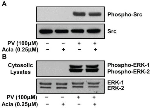 Proteasome inhibition does not impact PV-mediated activation of Src or MEK kinases. ILU-18 cells were treated with PV (100 μM) for 20 min, with or without prior treatment with Aclacinomycin (0.25 μM) for 2 h. At the end of incubation, cells were washed and cytosolic lysates prepared. As controls, cell lysates were made from ILU-18 cells left untreated or treated with 0.25 μM Aclacinomycin alone for 140 min. Lysates, equalized for 30 μg protein, were resolved using SDS-PAGE, followed by Western blotting using antibodies to phospho-Src (Tyr-416) and Src (A); or antibodies to phospho-p44/p42 ERK1/2 (Thr-202/Tyr-204) and ERK1/2 (B).