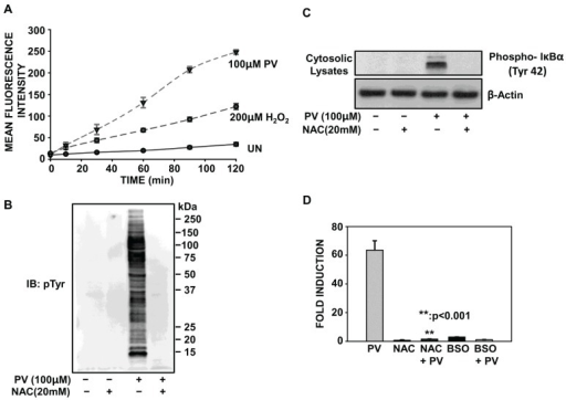 PV-mediated activation of NF-κB involves oxidative stress. (A) ILU-18 cells were washed and briefly incubated in 1X Hank's Balanced Salt Solution (HBSS), prior to incubation with 10 μM H2DCF-DA for 30 min at 37 °C in the dark. At the end of the incubation, cells were washed and resuspended in 1X HBSS. Intracellular reactive oxygen species (ROS) generation was detected following addition of PV (100 µM) or H2O2 (200 µM), as described in the methods section. (B) ILU-18 cells were either untreated or treated with NAC (20 mM) for 2 h. After media replacement, cells were selectively treated with PV (100 μM) for 20 min. At the end of incubation, cells were washed and cytosolic lysates prepared. As controls, cell lysates were made from ILU-18 cells left untreated or treated with 20 mM NAC alone for 140 min. Lysates, equalized for 30 μg protein, were resolved using SDS-PAGE, followed by Western blotting using an antibody specific to Phospho-Tyrosine residues. Molecular weights derived from standards are indicated in kDa. (C) Cytosolic lysates (30 µg), obtained as in (B), were resolved using SDS-PAGE, followed by Western blotting using a phospho-specific antibody recognizing IκBα (Tyr-42). After stripping, the blot was re-probed with antibody to β-actin to demonstrate equal protein loading. (D) ILU-18 cells were either untreated or treated with NAC (20 mM) for 2 h. After media replacement, cells were selectively treated with PV (100 μM) for 18 h. Additionally, ILU-18 cells were treated with 100 μM H2O2 for 18 h or subjected to treatment with 200 μM BSO for 24 h. Lysates obtained were evaluated for luciferase acitivity, as described previously. Data obtained from at least four independent experiments are presented; values represent data means ± standard error. ** Denotes significant difference at p < 0.001, between treatment groups.