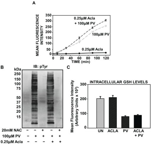 Proteasome inhibition potentiates oxidative stress associated with PV-stimulation. (A) ILU-18 cells were either left untreated or treated with 0.25 µM Acla for 2 h. Following treatment with proteasome inhibitor, cells were washed and briefly incubated in 1X HBSS, prior to incubation with 10 μM H2DCF-DA for 30 min at 37 °C in the dark. At the end of the incubation, cells were washed and resuspended in 1X HBSS. Intracellular oxidation was detected following addition of PV (100 µM), as described in the methods section. (B) ILU-18 cells were either left untreated or pretreated with 0.25 µM Acla for 2 h, in the presence or absence of 20 mM NAC. Media was then replaced and cells were selectively treated with PV (100 µM) for 20 min. At the end of incubation, cells were washed and cytosolic lysates prepared. Lysates, equalized for 30 μg protein, were resolved using SDS-PAGE, followed by Western blotting using an antibody specific to Phospho-Tyrosine residues. Molecular weights derived from standards are indicated in kDa. (C) ILU-18 cells were treated with 100 µM pervanadate for 18 h, with or without pretreatment for 2 h with 0.25 µM Aclacinomycin. As controls, cells were either left untreated or subjected to treatment with 0.25 µM Aclacinomycin for 20 h. At the end of treatment, cells were lysed; 2 µL of MCB and GST were added to each sample and incubated at 37 °C for 15 min. Fluorescence was measured at an excitation wavelength of 340 nm and emission wavelength of 465 nm. Data obtained from duplicates of at least two independent experiments are presented; values represent mean fluorescence intensity (MFI) ± standard error.