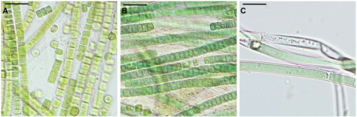 Microcoleus vaginatus 858 CCALA after rehydration from complete desiccation, viewed by light microscopy. Cultures grown under optimal conditions (A), and kept at low temperatures (B), both containing filaments disintegrated into single cells; nitrogen-starved culture (C) with filaments enclosed in sheaths. Scale bars are 20 μm.