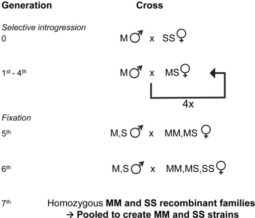 Genetic crossing design used for selective introgression of the X-island of divergence in recombinant strains.Following the creation of hybrid females at the X-island diagnostic rDNA locus, 4 generations of backcrosses were used to introgress the S-type X-island into an M molecular form Mopti genetic background. Here, 'MM', 'MS' and 'SS' refer to the female genotypes at the rDNA marker locus in the X-island and 'M' and 'S' refers to the male genotype at the same locus (see methods). Thereafter 2 generations of crosses within the introgressed strain resulted in recombinants strains that shared a high genetic identity but differed at the S or M-type X-chromosome islands of divergence.