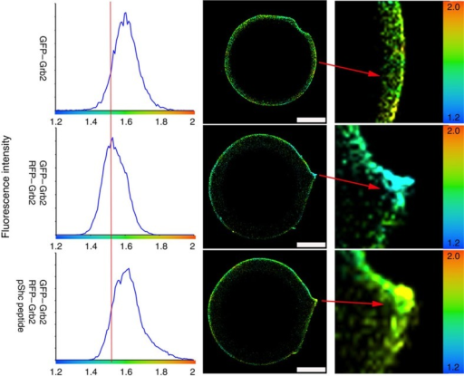Binding of phosphotyrosine by Grb2-SH2 domain leads to dissociation.smFLIM shows Grb2 dimerization is disrupted upon phospho-Shc peptide binding by its SH2 domain. GFP-tagged Grb2 immobilized on GFP-trap beads were imaged in 20 mM Tris-HCl, 50 mM NaCl at pH 8.0. The reference average lifetime in the absence of acceptor is 1.6 ns. RFP–Grb2 was added and allowed to form complex for 1 h and the lifetime of GFP–Grb2 shortens as indicated by left-shifted peak with average lifetime centred on 1.5 ns clearly indicating that FRET has occurred. Phospho-Shc peptide (10 μM) containing the pYxN motif was then added, allowed to equilibrate for an hour and the fluorescence lifetime was measured. Addition of the phospho-Shc peptide restores the lifetime to the control values obtained in the absence of acceptor. This clearly shows that the phospho-Shc peptide disrupts dimerization of Grb2. The zoomed image of the bead (right hand column) shows lifetime values mapped to a false colour image. The change in fluorescence lifetime as a function of colour is highly noticeable. The data presented here was consistently reproduced in three independent experiments. Scale bars, 10 μm.