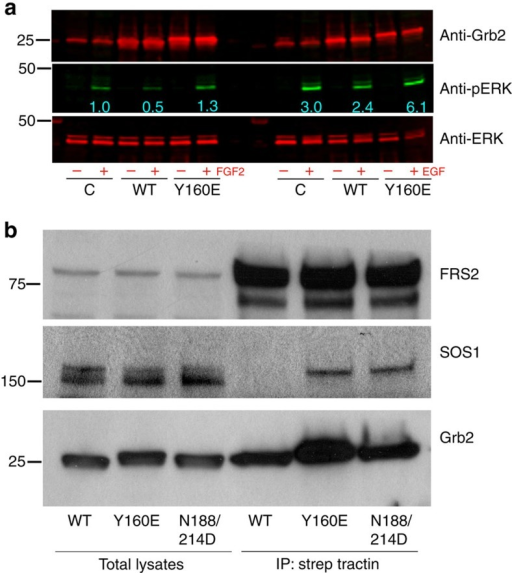 Dimeric Grb2 inhibits while monomeric Grb2 promotes MAP kinase activity.(a) Stable HEK293T cells overexpressing FGFR2–GFP (as control, C) and strep-tagged wild-type Grb2 or the dimerization-defective Y160E mutant were stimulated with 50 ng/ml FGF2 or EGF for 15 and 5 min, respectively. Cell-lysates were analysed for phospho-ERK (pERK), total ERK and Grb2 expression levels using specific antibody and Odyssey infra-red imaging. (b) HEK293T cells overexpressing FGFR2–GFP with indicated strep-tagged Grb2 in serum were lysed and subjected to strep-tactin affinity purification. The resulting co-precipitated complexes along with input cell-lysates were analysed for SOS and FRS2 binding using respective antibody. The immunoblot was also re-probed for Grb2 as a loading control. The data presented are representative of three independent experiments.