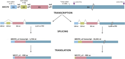 MECP2 structure showing exons (E) and introns (In). The figure shows transcripts resulting from alternative splicing with 1,734 and 10,241 nucleotides (nt). Transcripts from different regions of exon 4 are indicated as 4a and 4b. Translation of mature mRNA molecules results in proteins of 498 and 486 amino acids (aa), MECP2_e1 and MECP2_e2, respectively