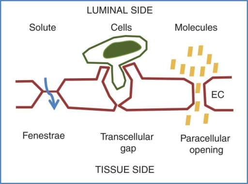 Different mechanisms for extravasation of solute, cells, and molecules. Specialized capillaries in endocrine organs have pores, fenestrae, in the plasma membrane. Fenestrae allow rapid exchange of solute and molecules such as hormones. Transcellular gaps provide a route for inflammatory cells, which, however, also may exit through paracellular junctions. Disintegration of junctions allows extravasation of molecules.