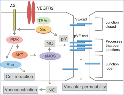 Signal transduction regulating opening of adherens junctions. Three main pathways are depicted: 1) VEGF-induced activation of c-Src leading to VE-cadherin (VE-cad) hyperphosphorylation (pY); 2) activation of eNOS leading to NO generation and effects on adherens junctions; and 3) activation of small GTPases such as RAC followed by rearrangement of the actin cytoskeleton and cell retraction. For details, see text.