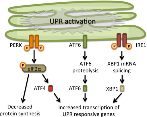 The unfolded protein response. The unfolded protein response consists of three independent signaling pathways that work in parallel and are activated upon accumulation of unfolded proteins inside the ER. Each signaling pathway is defined by the different ER-resident transmembrane proteins that act as ER stress sensors: RNA-activated protein kinase R (PKR)-like ER kinase (PERK), activating transcription factor 6 (ATF6) and inositol requiring enzyme 1 (IRE1). Activation of the UPR leads to an overall translational block and specific activation of ER stress responsive genes, which will increase the protein folding capacity and decrease the protein folding load in the ER. See text for further details