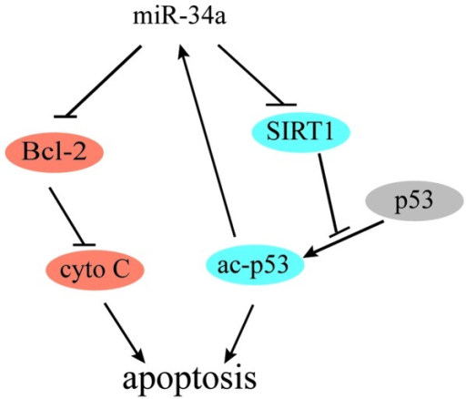 Proposed feedback loop and apoptosis mechanism involving miR-34a, p53, SIRT1 and Bcl-2. miR-34a, microRNA-34a; SIRT1, sirtuin 1; Bcl-2, B-cell lymphoma 2; cyto C, cytochrome c.