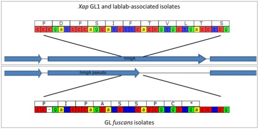 Disruption of the hmgA gene in GL fuscans. The cartoon illustrates a sequence polymorphism in the hmgA gene whereby all of the sequenced GL fuscans strains (including previously sequenced 4834-R and CFBP4884) have a single-nucleotide deletion that results in a frame-shift and premature stop codon. All of the Xap GL 1 and lablab-associated strains encode a full-length protein product.