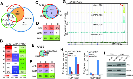 GATA2 enhances but not reprograms AR cistromeA. GATA2 co-occupies substantially less ARBS (only 25%) than FOXA1 (which occupies 75% of ARBS), and a majority of the GATA2-AR co-occupied regions are also bound by FOXA1. ChIP-seq of AR, FOXA1, and GATA2 were performed in LNCaP cells.B. FOXA1, but not GATA2, plays a strong role in recruiting AR. Motif analysis showed that ARE motifs are the most enriched in the AR-only sites (a sites). ARE motifs are much less frequent within FOXA1-coocupied sites (b and d sites) than GATA2-coocupied sites (c sites).C. Venn diagram showing overlapping ARBS identified in control (shCtrl) and GATA2 knockdown (shGATA2) LNCaP cells in the presence of androgen.D. Motif enrichment in the three categories of ARBS identified in C.E–F. Venn diagram (E) and motif analysis of ARBS identified in control (shCtrl) and GATA2 knockdown (shGATA2) LNCaP cells in the absence of androgen.G. Genome browser view of AR occupancy around the TMPRSS2 gene in shCtrl and shGATA2 LNCaP cells with (FBS) or without (FCS) androgen stimulation. Red arrow indicates the position of the known TMPRSS2 enhancer11.H. ChIP-PCR showed that AR-induced gene TMPRSS2 are less occupied by AR following GATA2 knockdown both in the presence and absence of androgen. Data shown are mean ± SEM in triplicate qPCR and is a representative of at least two independent experiments.I. Western blot analysis of control and shGATA2 LNCaP cells in the presence and absence of androgen.
