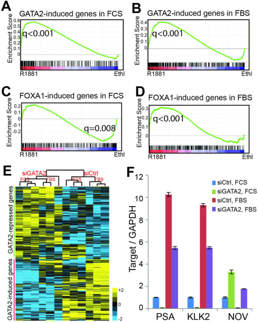 Collaborative effects of GATA2 and AR in transcriptional regulationA–B. Genes induced by GATA2 in androgen-depleted (A) or androgen-stimulated cells (B) are up-regulated by androgen. GATA2-induced gene sets were obtained through microarray analysis of control and GATA2-knockdown LNCaP cells grown in the presence or absence of androgen. GSEA analysis was done in microarray dataset comparing gene expression in LNCaP cells with or without androgen stimulation.C–D. Genes induced by FOXA1 in androgen-depleted LNCaP cells are significantly enriched for down-regulation by androgen (C), while FOXA1-induced genes in the presence of androgen tend to be up-regulated by androgen (D). FOXA1-induced gene sets were obtained through microarray analysis of control and FOXA1-knockdown LNCaP cells grown under androgen-depleted or –replenished conditions and subjected to GSEA analysis.E. Hierarchical clustering showing that GATA2-induced genes in the absence of androgen are further induced by androgen, whereas GATA2-repressed genes are further repressed by androgen. GATA2-induced or –repressed gene sets were derived from microarray data of control and GATA2-knockdown LNCaP cells in the absence of androgen.F. QRT-PCR confirming that GATA2 positively regulates AR activity under both androgen-depleted and –replenished conditions. LNCaP cells grown in the presence or absence of androgen were subjected to control or GATA2 knockdown and then qRT-PCR analysis. PSA and KLK2 are known AR-induced genes, whereas NOV has been reported to be an AR-repressed gene29. Data shown are mean ± SEM in triplicate qPCR and is a representative of at least two independent experiments.