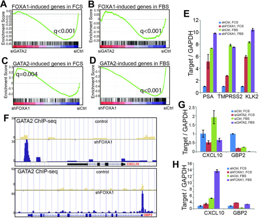 Context-dependent roles of FOXA1 in regulating GATA2 programA–B. GATA2 positively regulate FOXA1-targe genes under both androgen-depleted and –replenished conditions. FOXA1-induced genes in the presence (FBS) and absence (FCS) of androgen was derived from microarray data of control and FOXA1-knockdown cells. GSEA of these gene sets was performed in microarray data of control and GATA2-knockdown cells grown under the same androgen environment.C–D. GATA2-induced genes are significantly enriched for up-regulation upon FOXA1 knockdown in androgen-depleted cells, whereas in the presence of androgen GATA2-induced genes tend to become down-regulated following FOXA1 depletion. GATA2-induced gene sets in the presence and absence of androgen were obtained from corresponding microarray data and subjected to GSEA in microarray data of control and FOXA1-knockdown cells.E. QRT-PCR validating that FOXA1 knockdown increased GATA2/AR-induced gene expression. Data shown are mean ± SEM in triplicate qPCR and is a representative of at least two independent experiments.F. Genome Browser showing increased GATA2 binding at CXCL10 enhancer and GBP2 promoter following FOXA1 depletion in LNCaP cells.G. QRT-PCR showing decreased CXCL10 and GBP2 levels following GATA2 knockdown. Androgen-deprived and –stimulated LNCaP cells were subjected to control or GATA2 knockdown through RNA interference and then qRT-PCR analysis.H. FOXA1 depletion led to increased expression of GATA2-induced genes. QRT-PCR was performed in control and FOXA1-knockdown LNCaP cells grown in the presence or absence of androgen.