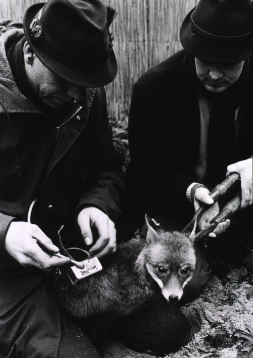 <p>Two men tag and attach a transmitter to a fox.</p>