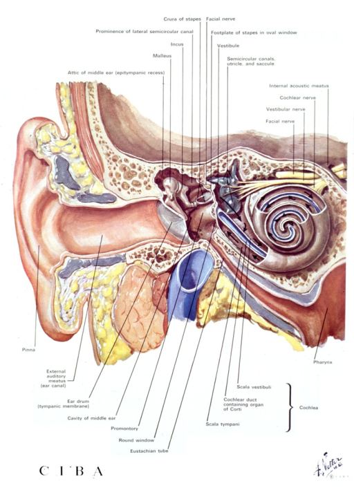 <p>Drawing and identification of the parts to an ear.</p>