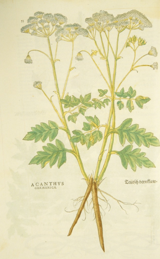 <p>Hand-colored woodcut of the acanthus, showing the flowers, stalks, leaves, and roots.</p>