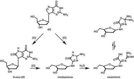 Chemical structures of the oxidative DNA lesions examined in the present study.