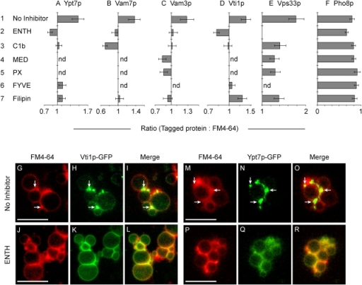 Regulatory lipids control the vertex enrichment of Ypt7p, SNAREs, and HOPS. Docking reactions using vacuoles from strains expressing GFP fusions to Ypt7p (A), Vam7p (B), Vam3p (C), Vti1p (D), Vps33p (E), or Pho8p (F) were treated with 30 μM ENTH, 10 μM MED, 10 μM C1b, 19 μM filipin, 25 μM PX, or 2 μM GST-FYVE and assayed for vertex enrichment. Reactions were incubated for 30 min at 27°C, placed on ice and labeled with FM4-64. Geometric mean values ± 95% confidence intervals of relative vertex enrichment are shown. (G–R) Fluorescent images of docked vacuoles containing GFP-Vti1p (G–L), or GFP-Ypt7p (M–R). Docking reactions bore no inhibitor (G–I and M–O) or 30 μM ENTH (J–L and P–R). G, J, M, and P show membrane staining with FM4-64. H, K, N, and Q show the distribution of GFP-Vti1p (H and K) or GFP-Ypt7p (N and Q). Merged images illustrate the enrichment of GFP-Vti1p (I) and Ypt7p (O) at vertices relative to outer membrane. ENTH treatment abolished the vertex enrichment of these proteins (L and R). Arrows are examples of vertices enriched in GFP-Vti1 (H and I) and GFP-Ypt7 (N and O) relative to outer membrane. Bars, 5 μm.