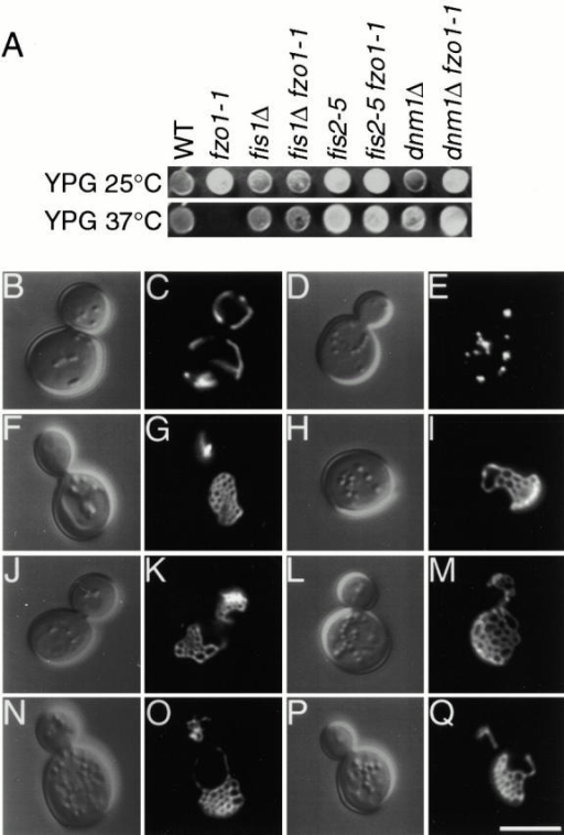 fis1 and fis2 mutations cause mitochondrial net formation and suppress glycerol growth defects and mitochondrial fragmentation in fzo1-1. (A) Wild-type (ADM548), fzo1-1 (ADM547), fis1Δ (ADM549), fis1Δ fzo1-1 (ADM550), fis2-5 (ADM752), fis2-5 fzo1-1 (ADM176), dnm1Δ (ADM379), and dnm1Δ fzo1-1 (ADM378) cells were spotted on YPGlycerol and grown at 25° or 37°C for 5 d. The presence/absence of mtDNA nucleoids in each strain was evaluated by DAPI staining (not shown). (B–Q) Morphology of mito-GFP–labeled (pVT100UGFP) mitochondria in (C) wild-type, (E) fzo1-1, (G) fis1Δ, (I) fis1Δ fzo1-1, (K) fis2-5, (M) fis2-5 fzo1-1, (O) dnm1Δ, and (Q) dnm1Δ fzo1-1 cells grown at 37°C. The corresponding differential interference contrast images are shown in B, D, F, H, J, L, N, and P. Bar, 5 μm.