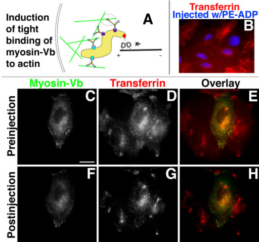 Inhibition of myosin-Vb after loading with transferrin does not prevent transit from perinuclear recycling endosomes. HeLa cells transiently expressing sensitized myosin-Vb were loaded with Alexa 546-transferrin, washed, incubated in growth medium for 30 min, and imaged for myosin-Vb and transferrin. (A) Diagram depicting predicted results; the sensitized mutant myosin-Vb is shown in red and PE-ADP is shown as a green circle. (B) Inhibition of accumulation of transferrin (red) added after myosin-Vb inhibition by microinjection of PE-ADP2. Injected cells have blue nuclei. (C, D, E, F, G, H) The cell expressing sensitized myosin-Vb (center, panel C) was immediately injected with PE-ADP and the same field was imaged 30 min later (F, G, H). Panels C and D are overlaid in panel E, and panels F and G are overlaid in panel H. Bar, 15 μm.