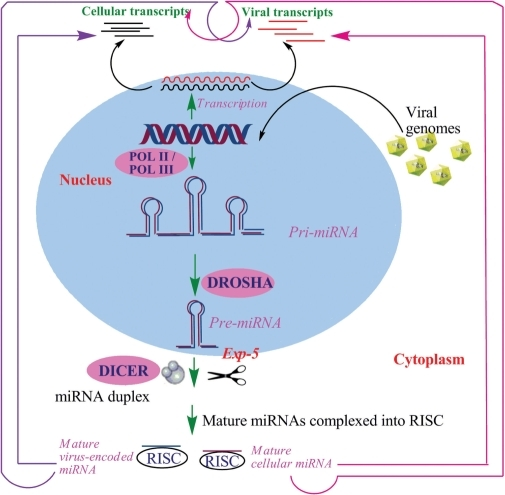 Biogenesis of microRNAs. Processing of both host miRNAs (violet) and virus-encoded miRNAs (blue) is assumed to occur through the same pathway. The arrows (pink) indicate the effects of cellular miRNAs on their own cellular transcripts as well as on viral transcripts. The violet arrow shows the effects of virus-encoded miRNAs on both cellular and viral transcripts. Both these arrows suggest possible miRNA-mediated interactions between viruses and their hosts.