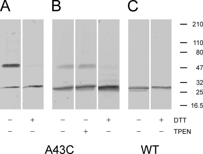 Western blots of WT (Cx32*Cx43E1) and mutant (A43C) membrane-inserted hemichannels. + and − symbols at the bottom of each panel denote treatment of the sample with or without either 50 mM DTT or 10 mM TPEN before SDS-electrophoresis through 5–40% gradient polyacrylamide gels. The position of pre-stained molecular weight standards (Thermo Fisher Scientific) are presented as bars on the right side of the figure. The band with molecular weight ∼50 kD corresponds to a connexin dimer, whereas the monomer has an electrophoretic mobility comparable to a molecular weight standard of ∼27 kD. Only treatment with DTT reduces the dimer to the monomeric connexin form.
