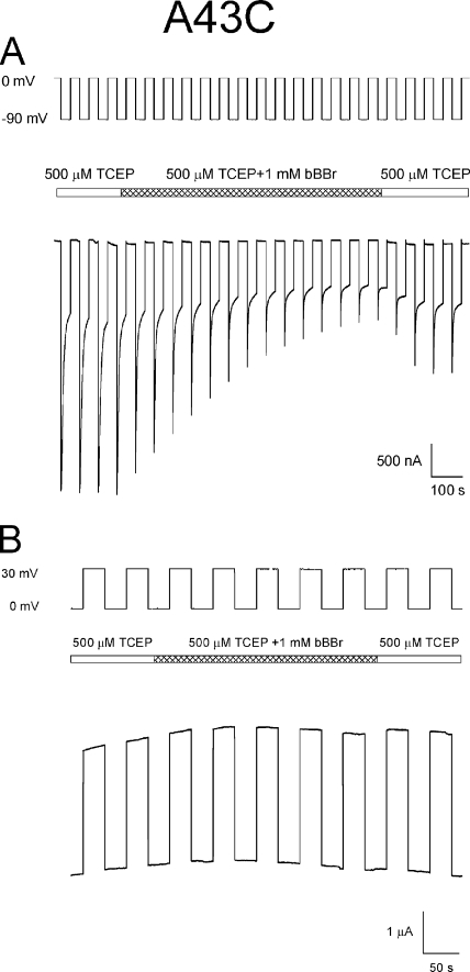 Modification of A43C residues by bBBr occurs at voltages that favor channel closure. (A) Macroscopic currents attributable to A43C channels are irreversibly decreased when exposed to bBBr during a voltage paradigm, steps between 0 and −90 mV, which elicits gating transitions between the open (0 mV) and either loop- and/or Vj-gating closed states (−90 mV). (B) Application of bBBr during a voltage paradigm, steps from 0 to 30 mV, which favors population of the open-channel state, has no effect on A43C macroscopic currents. The central bar in both panels indicates the time and duration for which the bath solution containing 500 µM TCEP was exchanged with the same bath solution containing 1 mM bBBr and subsequently washed with TCEP containing bath solution.