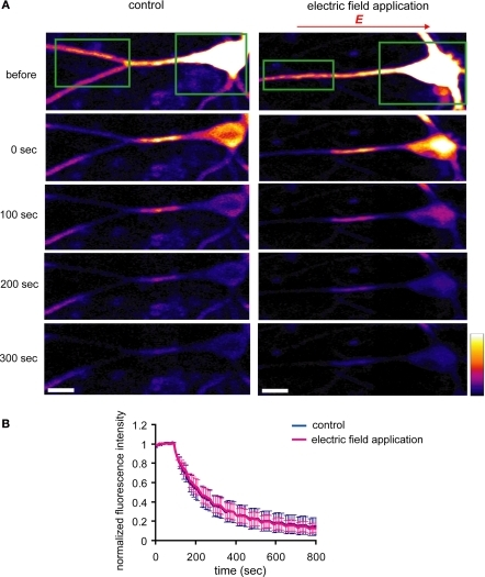 An externally applied electric field does not influence the movement of GluR1-GFP. (A) GluR1-GFP was expressed in hippocampal dissociated culture neurons by a Sindbis virus expression system. The images were taken every 10 s. After taking 10 baseline images, a region that included the soma and the distal dendrites (green boxes) was photobleached, leaving a 25 μm length segment in proximal dendrite. Then, the photobleaching was repeated after every 5 images acquired. For the experiments with the electric-field application, a 10 mV/mm of external electric field was continuously applied along the primary dendrites once the photobleaching started (scale bar = 12.5 μm). (B) Analysis of fluorescence decay in the 25 μm segment in proximal dendrite. No significant difference was observed in fluorescence decay under the external electric-field application, suggesting that the electric field does not influence GluR1-GFP movement, directly (n = 5).