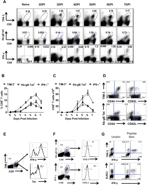 TIM-3 expression is up regulated on virus-specific CD8+ T cells after HSV infection.C57BL/6 animals were infected in each hind footpad with 2.5×105 PFU of HSV. At different time points after infection, draining popliteal LNs (PLNs) cells isolated from three animals at each time point were analyzed flow cytometrically for TIM-3, Kb-gB-tetramer and IFN-γ staining. A. FACS plots showing the frequencies of TIM-3+ (upper panel), Kb-gB-Tet+ (middle panel) and SSIEFRAL-peptide stimulated IFN-γ producing (lower panel) CD8+ T cells are shown. Percentages (B) and absolute numbers (C) of TIM-3+, Kb-gB-Tet+ and SSIEFRAL-peptide stimulated IFN-γ producing CD8+ T cells in the draining PLN of HSV infected animals are shown. D. Co-expression of TIM-3 (upper panel) and Kb-gB-Tet (lower panel) with CD44 and CD62L is shown by representative FACS plots. E. FACS plots showing IFN-γ production by TIM-3+ (upper panel) and Kb-gB-Tet+ expression by TIM-3+CD8+ T cells are shown. F. Representative FACS plots show TIM-3 expression on Kb-gB-Tet+ (upper panel) and IFN-γ+CD8+ T (lower panel) cells G. FACS plots show the expression of TIM-3 (upper panel) and KLRG1 (lower panel) on IFN-γ producing CD8+ T cells.